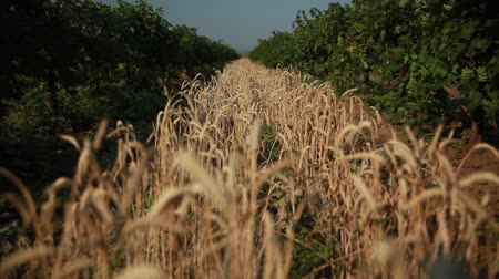 milharal : the vineyards growing band of wheat, ready to harvest