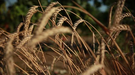 ohnutý : wheat ears bent to the ground