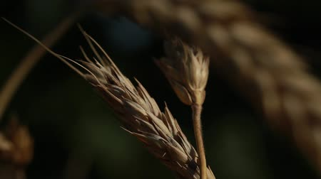 milharal : swaying in the wind two ears of wheat