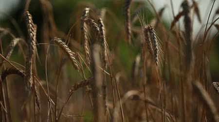 período : a few ears of wheat sway with the wind in a wheat field