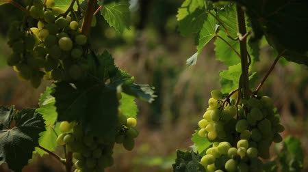 wijnranken : green grapes in the shade of its leaves Stockvideo