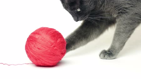 grey cat : grey cat playing with red thread ball over white background