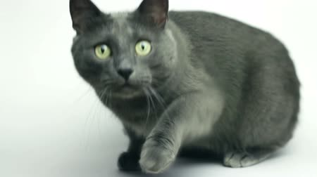 sobre o branco : grey cat sitting over white background