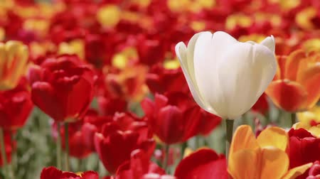 стоять : One white tulip stands out in a field of red and yellow ones. Tulips swaying in the wind. Close up