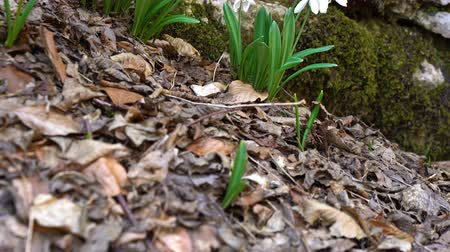 marchs financiers : Tilt up shot of white blooming Snowdrop or Galanthus nivalis bulbs. Low angle. First spring flowers in the woods growing on mountain hill under the rock. Soft focus.