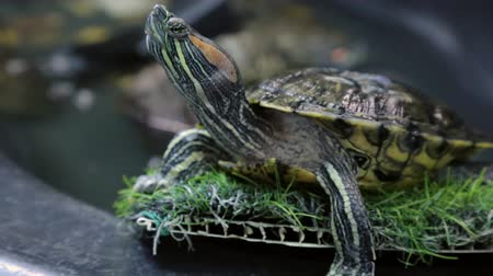 scripta : Red-eared slider in closeup Stock Footage