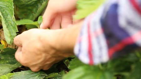 çilek : Gathering ripe strawberries form the garden bed Stok Video