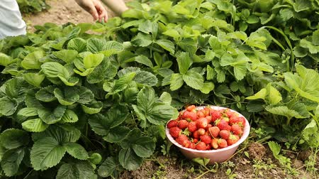 feltörés : Gathering ripe strawberries form the garden bed Stock mozgókép