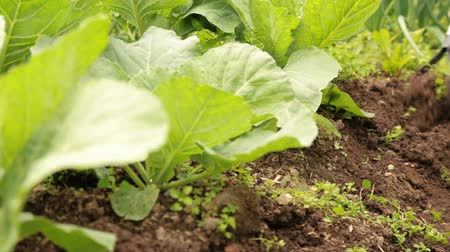 Weeding cabbage bed with chopper in the garden Stock mozgókép