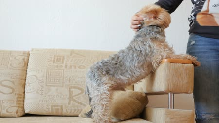 terier : Stroking dog on couch Wideo