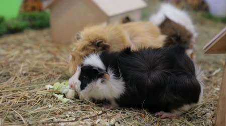gnaw : Funny guinea pigs in zoo Stock Footage