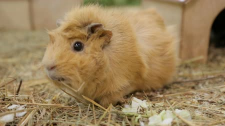 gnaw : Funny guinea pig in zoo Stock Footage