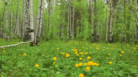 birch tree : Forest clearing with wild yellow flowers