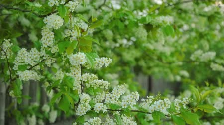 zöld levél : Blossoming bird cherry in sun light