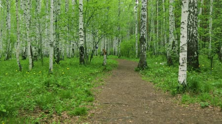 birch tree : Birch grove green path in day light