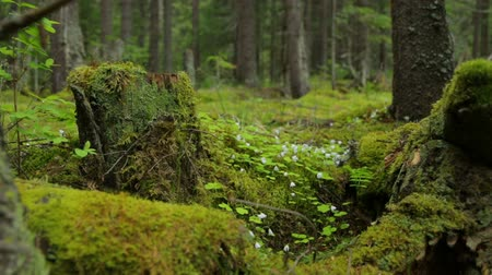 koçan : Old mossy stumps in spring forest