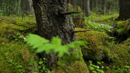 огрызок : Old mossy stumps in spring forest