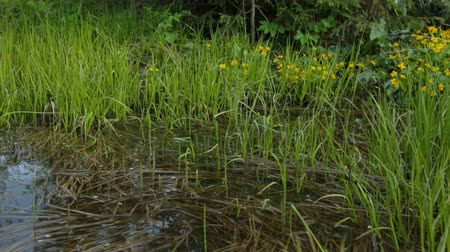 morass : Swamp area in summer Stock Footage