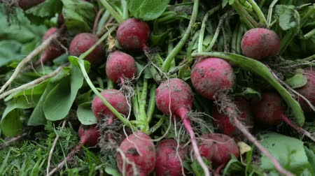pull out : Bunch of red radish on grass