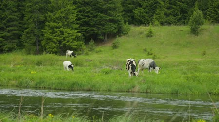 kafa yormak : Herd of cows grazing on meadow