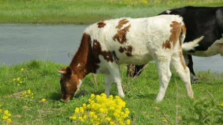 yellow flowers : Cow with heifer grazing on meadow