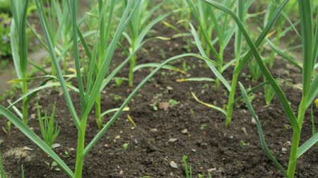 pırasa : Garlic and onion growing in garden