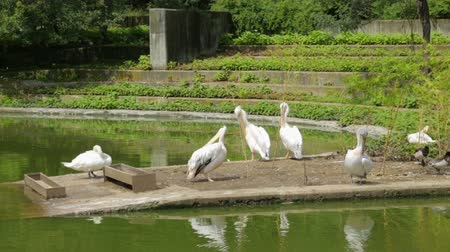 pelicans : Flock of pelicans and ducks in zoo Stock Footage