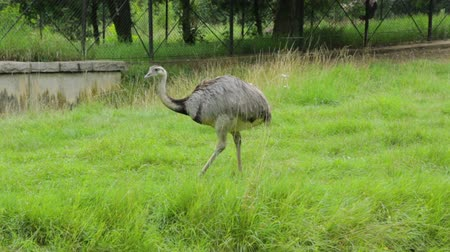 avestruz : Single ostrich in zoo Stock Footage