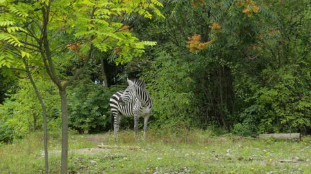 zebras : Single zebra grazing in zoo Stock Footage