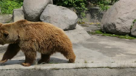 único : Single brown bear in zoo