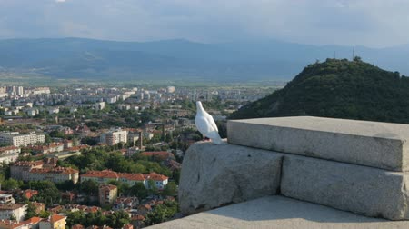 rock dove : White pigeon above the city