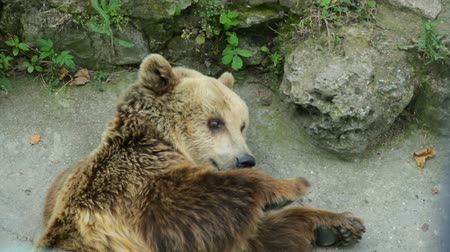 jegyzettömb : Brown bear resting in shadow Stock mozgókép
