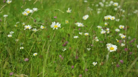 vahşi : Wildflowers and grass growing in a meadow Stok Video