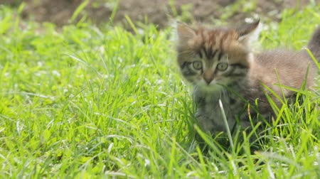 kočkovitý : Little kitten in grass
