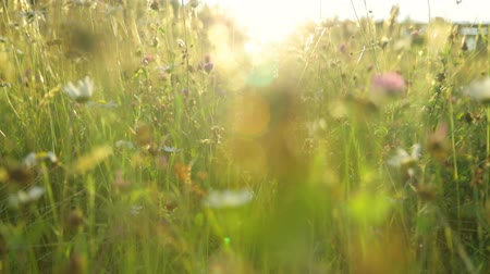 Summer field in sunset light Stock mozgókép