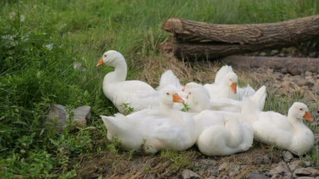 flock of geese : Flock of geese resting on a bank of a river Stock Footage