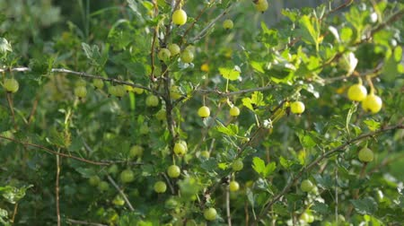 agrest : Gooseberry bush growing in garden