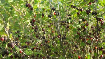 egres : Gooseberry bush growing in garden