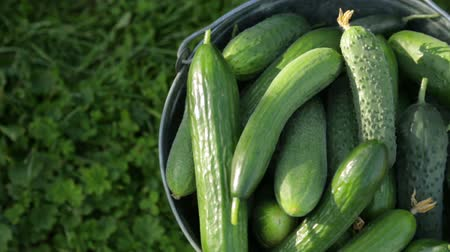 okurka : Cucumbers in bucket