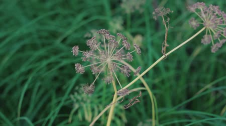 grass flowers : Inflorescence of flower umbrella