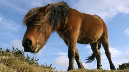 pónei : Wild pony grazing on grass Stock Footage