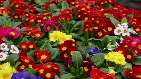 kankalin : Many colorful primulas in a garden center Stock mozgókép