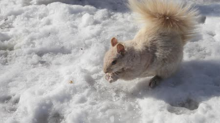 roedor : winter white squirrel