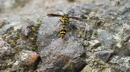 macro fotografia : A perfect wasp-mimic surphid fly (Syrphidae)  resting on stone