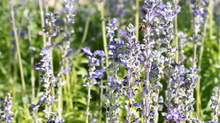 vůně : close up of lavender flowers with wind blow