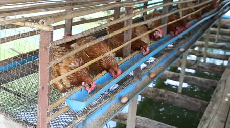 klatka : hen or chicken and eggs eating food in farm