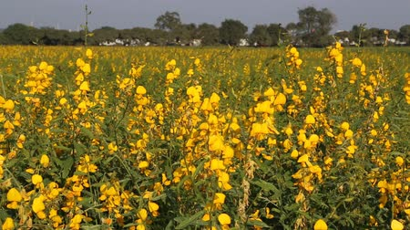 wildflowers : yellow Legumes flower with wind blow