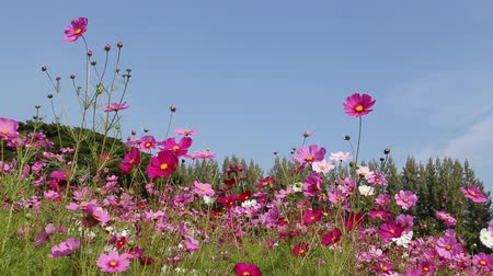 flower : beautiful cosmos flower in field with wind blow