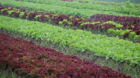 marul : watering lettuce plants Stok Video