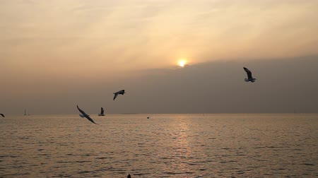 racek : Seagull with sunset at Bang Pu beach, Thailand
